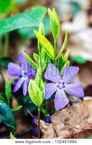Purple blue flowers of periwinkle growing in the meadow (vinca minor), closeup. Amazing spring floral background.