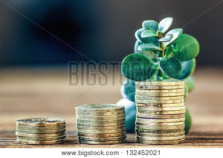 Money growth concept. Financial growth concept with stacks of golden coins and money tree(crassula plant).