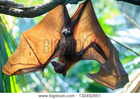 Huge Flying Fox bat sleeping upside down on tree branch in natural environment