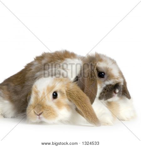 Couple Of Lop Rabbit