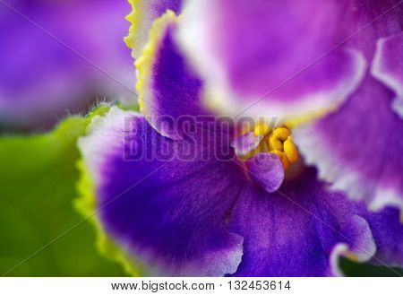 violets flowers close up - macro photography background