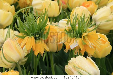 Yellow Crown Imperial tulips tucked between another variety of tulip.