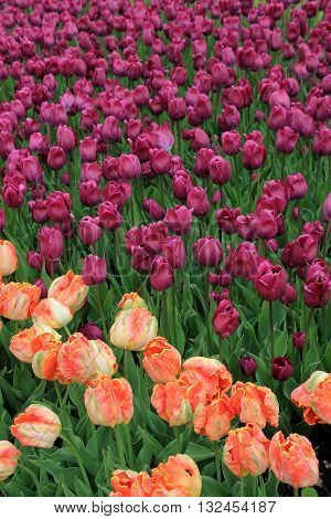 Bright purple and peach colored tulips in rural country landscaped garden.