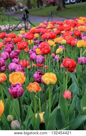 Landscaped garden with bright and colorful tulips with healthy green leaves.