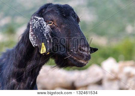 Portrait of Black Goat with Small Horns