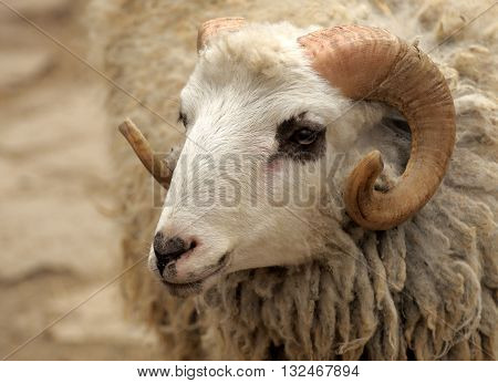 The portrait head of a ram closeup.