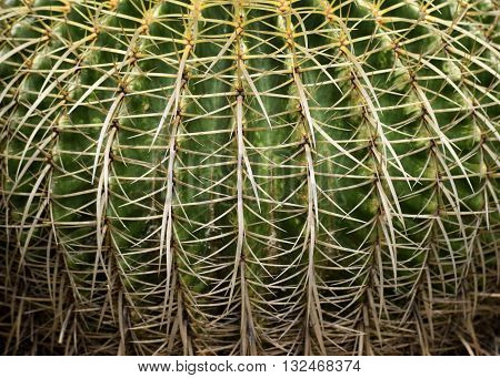 Large Golden Barrel Cactus Plant  in a garden background
