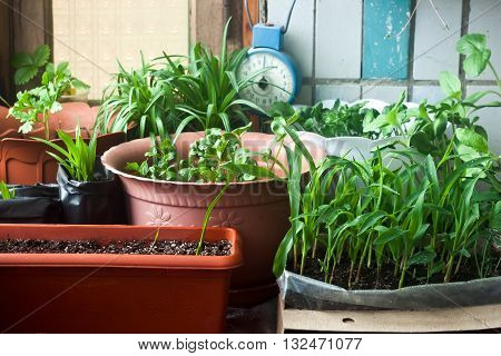 Cosy balcony garden with corn seedling and flowers