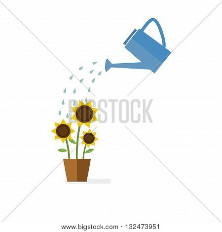 Watering can watering sunflowers. Green sprout and flowers watering by watering can.