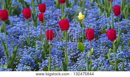 Tulip. Beautiful bouquet of tulips. colorful tulips. tulips in spring, colourful tulip