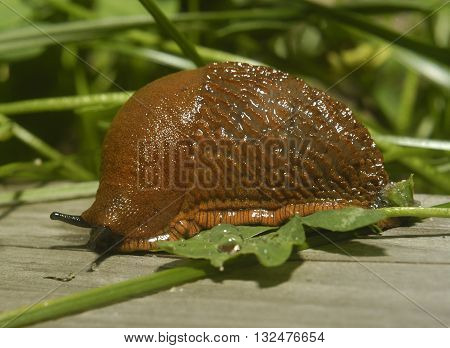 Fat Slug crawling on aged wood. Spanish slug (Arion vulgaris) invasion in garden. Invasive slug. Garden problem in Europe.