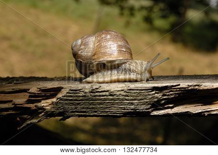 Burgundy snail (Helix, Roman snail, edible snail, escargot) crawling on its old wood