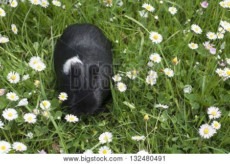 Guinea pigs in the grass eating. Domestic animal in the outdoor in the green grass lawn