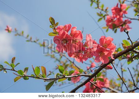 Branch Of A Flowering Quince Against Blue Sky