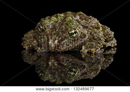 Vietnamese Mossy Frog Theloderma corticale or Tonkin Bug-eyed Frog Isolated on Black background