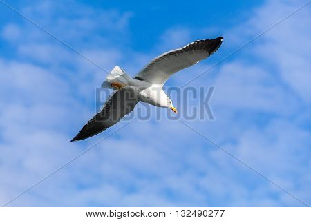 Seagull Flying In Blue Sky, Closeup Photo