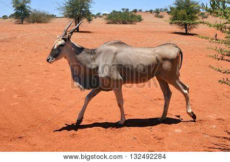 Female eland antelope (Tragelaphus oryx) in natural habitat. Kalahari desert Namibia Africa