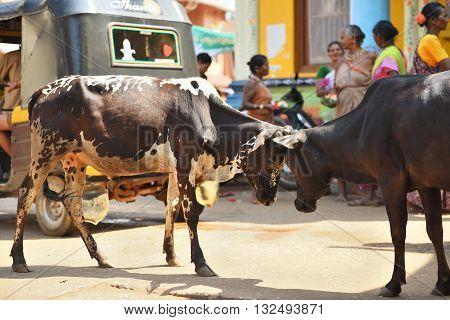GOKARNA KARNATAKA INDIA - JANUARY 29 2016: Two bulls butting each other in the street  in Gokarna city