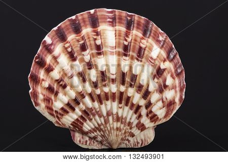 seashell of mollusk isolated on black background close up.