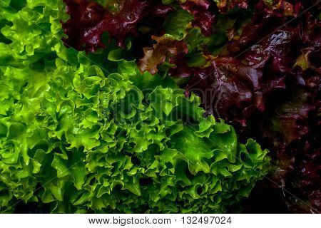 Fresh bunch of lollo rosso salad leaves green red and wet on lettuce background