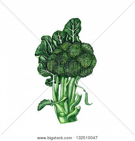 Watercolor isolated botanical illustration of fresh broccoli