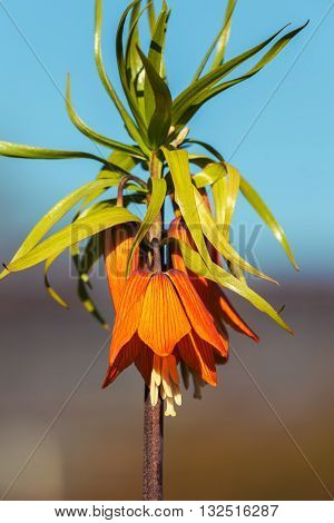 Flower imperial Fritillaria Fritillaria Eduardic Regel Crown imperial fritillary