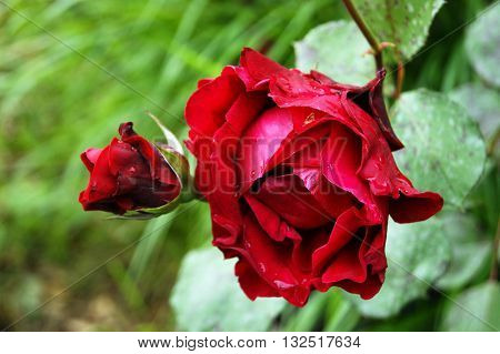 Flower red rose on a green background