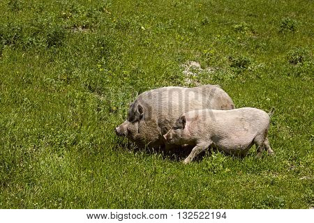couple male and female pigs grazing in the green spring meadow