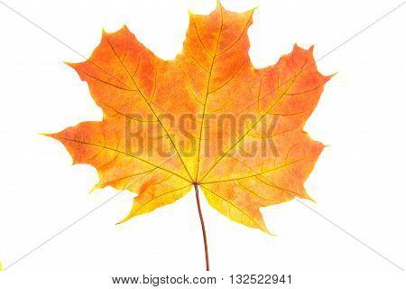 october, orange autumn leaves on a white background