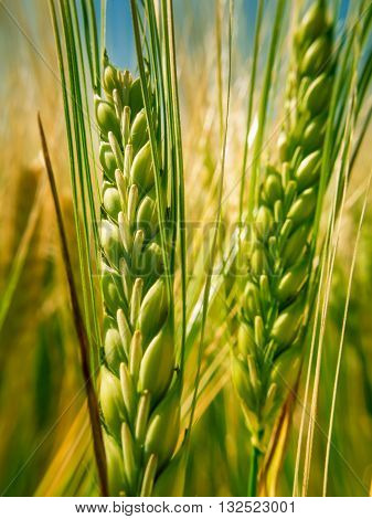 Green Spike Wheat Ii