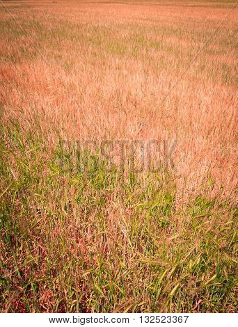 A Wheat Field with symptoms of drought
