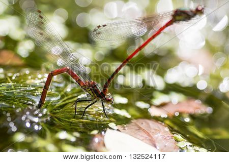 Large red damselfly (Pyrrhosoma nymphula) ovipositing. Male attached to female laying eggs under surface of water of pond
