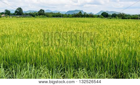 Landscape green rice fields are beautiful produce grains in Thailand 16:9 wide screen