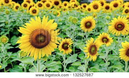 Many yellow flower of the Sunflower or Helianthus Annuus blooming in the field 16:9 wide screen