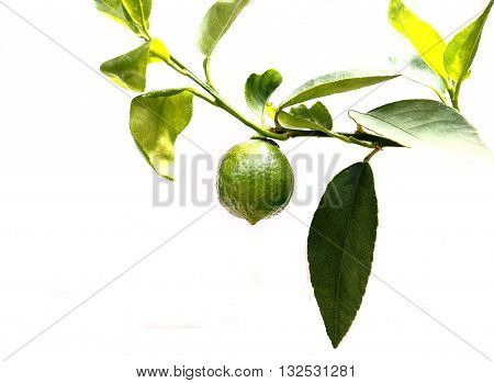 Lemon vegetable very fresh on tree I take a photo in my plant This is a new species of seedless lemons isolate on white background.