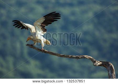 Egyptian Vulture. In Wildlife Reserve Madjarovo, Bulgaria