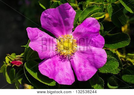 close-up of rose briar flower. rose hips flower outdoor on nature background. macro