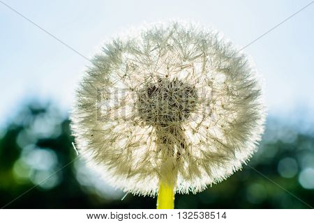 Dandelion flower with dew drops against the sun on nature background. Macro