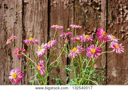 pink chamomile flowers Pyrethrum Daisy on old wooden background