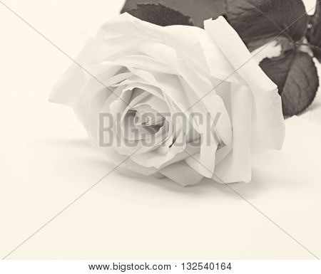 Beautiful toned white rose close-up can use as wedding background. Soft focus. Retro style