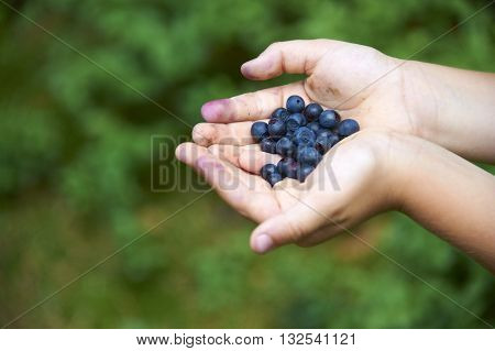 Children's hands filled with blueberries. In the background blueberry bushes. Summertime activities