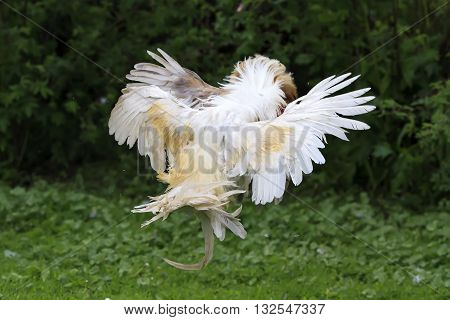 two evil birds, fighting rooster on green grass in village
