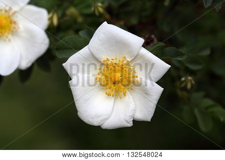 A rose flower of the species Rosa corymbifera a wild rose from Central Europe and the Mediterranean region.