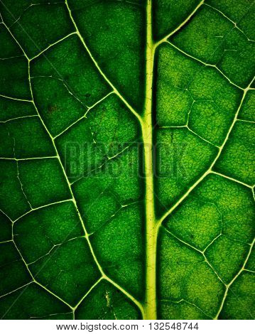 abstract background or texture detail of dark green leaves with veins