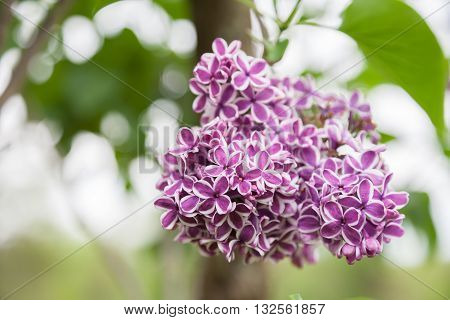 Variegated lilacs in full bloom in the spring.