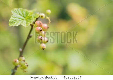 bush with bunch unripe redcurrants