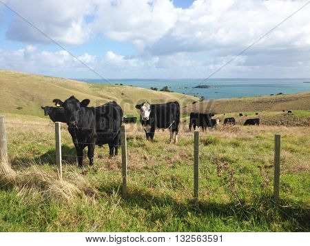 Curious cattle on rolling green pasture hills on coastal land with sea in the background.