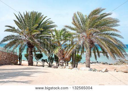 Beautiful palm trees on Aruba island in the Caribbean Sea