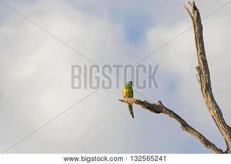 Male Red rumped Parrot bird (Grass Parrot) in green and yellow color perching on dried branch against cloudy blue sky in the evening, South  Australia