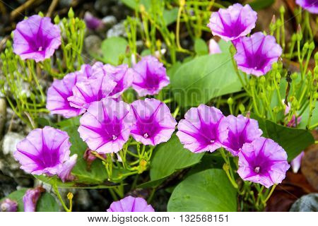 purple Ipomoea pes-caprae Sweet ( Ipomoea pes-caprae (L.) R.Br.) on old concrete